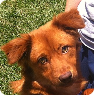 Nova Scotia Duck-Tolling Retriever Mix Dog for adoption in New Canaan, Connecticut - Nova