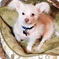Adopt A Pet :: Roo looks like Dobie the elf! - Redondo Beach, CA