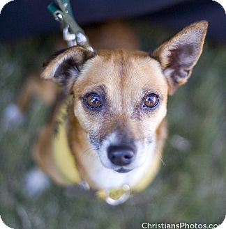 Fox Terrier (Toy)/Chihuahua Mix Dog for adoption in West Hollywood, California - Miss Edie