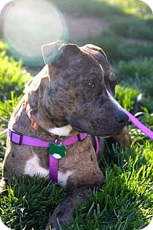 Catahoula Leopard Dog/Pit Bull Terrier Mix Dog for adoption in Wethersfield, Connecticut - Sydney