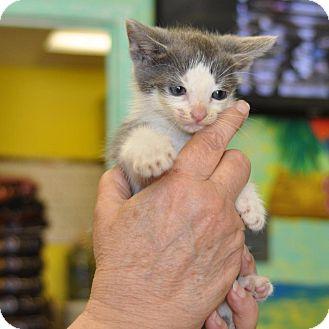 Domestic Shorthair Kitten for adoption in Sunrise Beach, Missouri - Ono