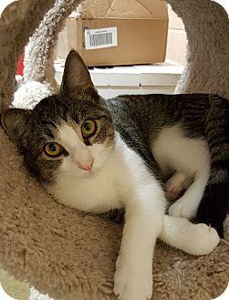 Domestic Shorthair Kitten for adoption in Smithfield, North Carolina - Paint