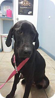 Labrador Retriever Dog for adoption in Jay, New York - Jasmine