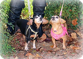 Chihuahua/Dachshund Mix Dog for adoption in Yuba City, California - Addy and Penny