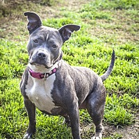 American Staffordshire Terrier Mix Dog for adoption in St Helena, California - Razberry