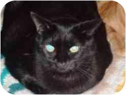 Domestic Shorthair Cat for adoption in Pasadena, California - Hespera