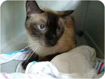 Siamese Cat for adoption in Hurst, Texas - Sterling