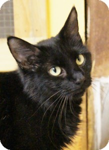Domestic Mediumhair Cat for adoption in Medford, Massachusetts - Joyous