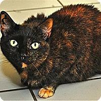 Domestic Shorthair Cat for adoption in Fairfax Station, Virginia - Chloe 2