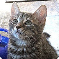 Adopt A Pet :: Gismo - Escondido, CA