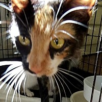 Domestic Shorthair Cat for adoption in Holly Springs, Mississippi - Cindy