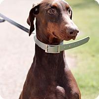 Adopt A Pet :: Scarlett - McAllen, TX