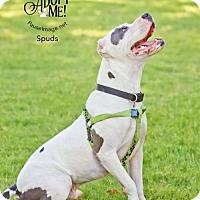 Adopt A Pet :: SPUDS - Chandler, AZ