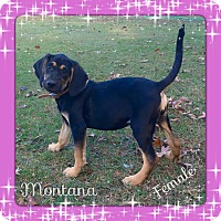 Adopt A Pet :: Montana  pending adoption - Manchester, CT