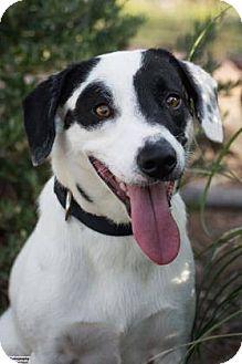Pointer/Labrador Retriever Mix Dog for adoption in boston, Massachusetts - Sherman