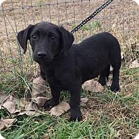 Adopt A Pet :: Lil Bit - Stamford, CT