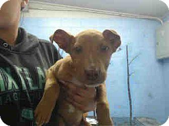 Doberman Pinscher Mix Puppy for adoption in San Bernardino, California - URGENT ON 3/28  San Bernardino