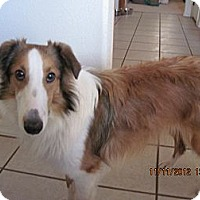 Adopt A Pet :: Scooby - apache junction, AZ