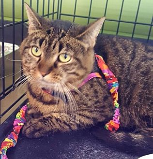 Domestic Mediumhair Cat for adoption in Lyons, Illinois - Pure Blue royal blood is what Taylor brings to you