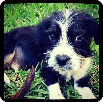 Schnauzer (Standard) Mix Puppy for adoption in Grand Bay, Alabama - Willie