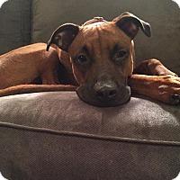 Adopt A Pet :: Bella - Ft. Lauderdale, FL