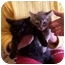 Photo 1 - Domestic Mediumhair Cat for adoption in LosAngeles, California - Kittens