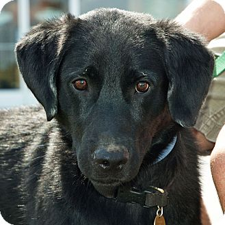 Labrador Retriever Mix Dog for adoption in Richmond, Virginia - Jonesy