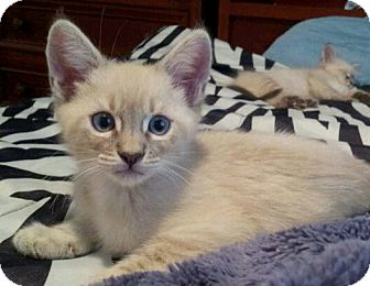 Siamese Kitten for adoption in Irvine, California - CharMing