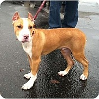 Adopt A Pet :: Boyd - Seattle, WA