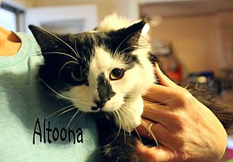 Domestic Mediumhair Cat for adoption in Wichita Falls, Texas - Altoona