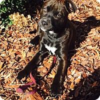 Adopt A Pet :: Boo - Marietta, GA