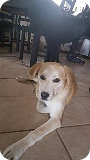 Labrador Retriever Mix Puppy for adoption in WESTMINSTER, Maryland - Sweet Pea