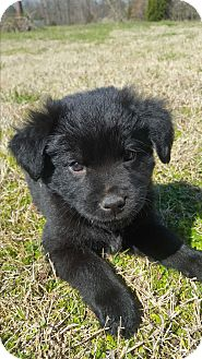 Shepherd (Unknown Type)/Chow Chow Mix Puppy for adoption in Glastonbury, Connecticut - Beth~adopted!