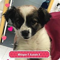 Adopt A Pet :: WHISPER - Gustine, CA