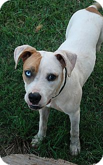 Pit Bull Terrier/Terrier (Unknown Type, Medium) Mix Dog for adoption in Greensboro, Georgia - Apple