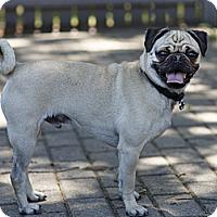 Adopt A Pet :: Ben - Rigaud, QC