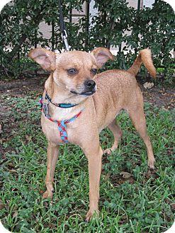 Chihuahua/Miniature Pinscher Mix Dog for adoption in Houston, Texas - Korbie
