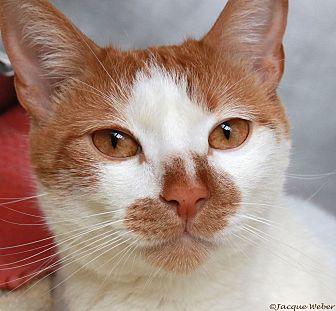 Domestic Shorthair Cat for adoption in St Louis, Missouri - Julius