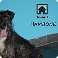Adopt A Pet :: Hambone - Chicago, IL