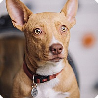 Adopt A Pet :: Dash - Portland, OR