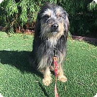Wheaten Terrier/Havanese Mix Dog for adoption in El Segundo, California - Brody