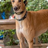 Adopt A Pet :: Falcon - Walnut Creek, CA