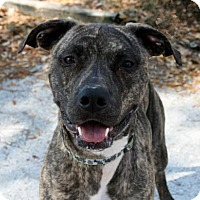 Adopt A Pet :: Rush - Bradenton, FL