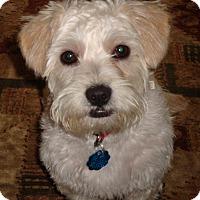 Adopt A Pet :: Stitch - Gig Harbor, WA