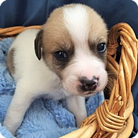 Adopt A Pet :: Barnabas - Alpharetta, GA