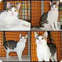 Adopt A Pet :: Lacey - Tucson, AZ