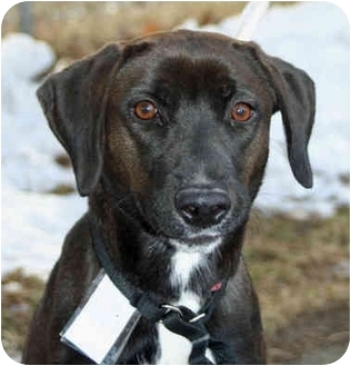 Retriever (Unknown Type) Mix Dog for adoption in Racine, Wisconsin - Sissey