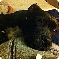 Adopt A Pet :: JJ - Houston, TX