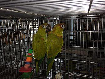Conure for adoption in Punta Gorda, Florida - Zane & Lilo