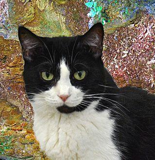 American Shorthair Cat for adoption in Pineville, North Carolina - Snookums